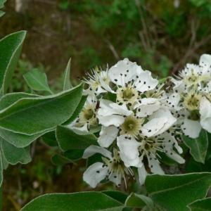 Photographie n°24668 du taxon Pyrus pyraster subsp. achras (Wallr.) Stöhr [1977]