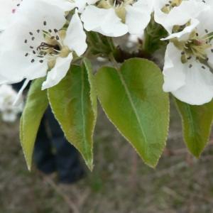 Photographie n°24674 du taxon Pyrus pyraster subsp. pyraster