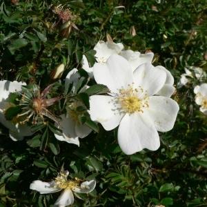 Photographie n°24690 du taxon Rosa pimpinellifolia L. [1759]