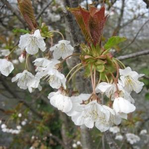 Photographie n°24691 du taxon Prunus avium (L.) L.
