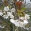 Mathieu MENAND - Prunus avium (L.) L. [1755]