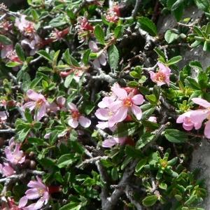 - Prunus prostrata Labill. [1791]