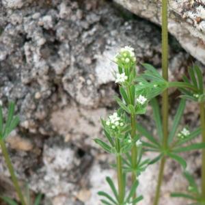 Photographie n°24702 du taxon Galium aparine L.