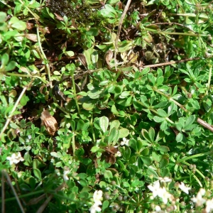 Photographie n°24711 du taxon Galium saxatile L.