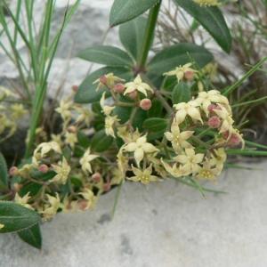 Photographie n°24746 du taxon Rubia peregrina L. [1753]