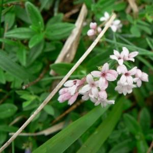 Asperula pyrenaica L. (Aspérule des Pyrénées)