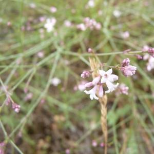 Photographie n°24769 du taxon Asperula cynanchica L.