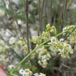 Galium mollugo subsp. gerardii (Vill.) Rouy (Gaillet luisant)