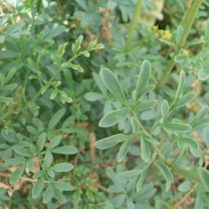 Photographie n°24791 du taxon Ruta chalepensis L. [1767]