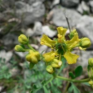 Photographie n°24797 du taxon Ruta graveolens L.