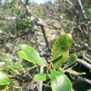 Photographie n°24800 du taxon Salix myrsinifolia Salisb. [1796]