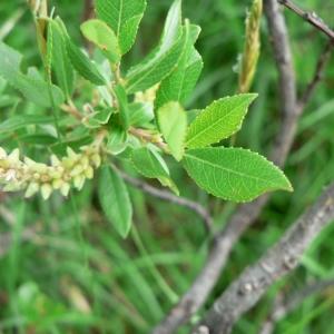 Photographie n°24818 du taxon Salix foetida Schleich. ex DC. [1805]