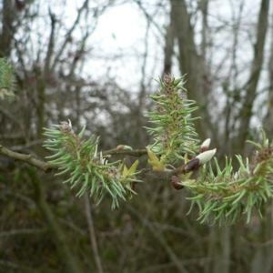 Photographie n°24831 du taxon Salix caprea L.