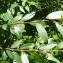 Mathieu MENAND - Salix triandra L. [1753]