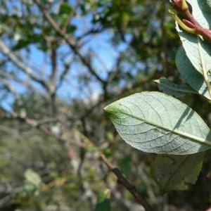 Photographie n°24837 du taxon Salix myrsinifolia Salisb. [1796]