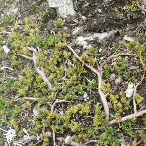 Photographie n°24838 du taxon Salix retusa L.