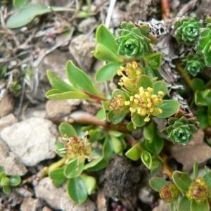 Photographie n°24853 du taxon Salix retusa L.