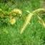 Mathieu MENAND - Salix triandra L.