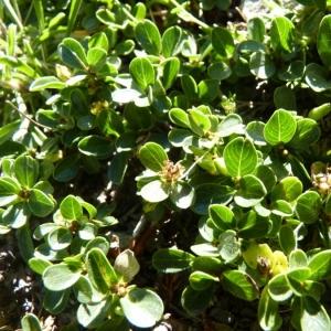 Photographie n°24856 du taxon Salix retusa L.