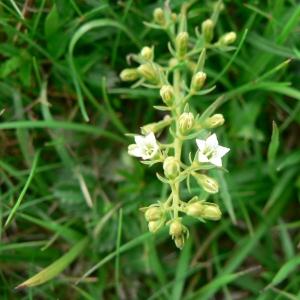 Thesium pyrenaicum Pourr. (Thésium des Pyrénées)
