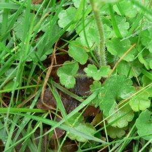 Photographie n°24887 du taxon Saxifraga granulata L.
