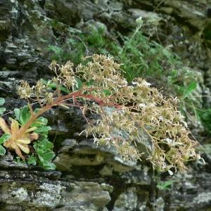 Photographie n°24901 du taxon Saxifraga cotyledon L. [1753]