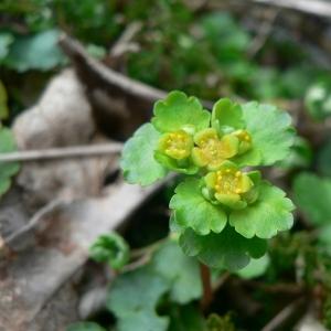 Photographie n°24925 du taxon Chrysosplenium alternifolium L.