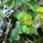 Mathieu MENAND - Chrysosplenium alternifolium L.