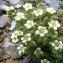 Mathieu MENAND - Saxifraga pubescens subsp. iratiana (F.W.Schultz) Engl. & Irmsch. [1916]