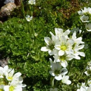 Saxifraga aquatica Lapeyr. (Saxifrage aquatique)