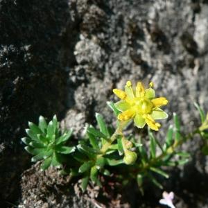Photographie n°24942 du taxon Saxifraga aizoides L.