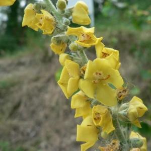 Photographie n°24964 du taxon Verbascum pulverulentum Vill. [1779]