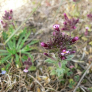 Photographie n°24972 du taxon Parentucellia latifolia (L.) Caruel