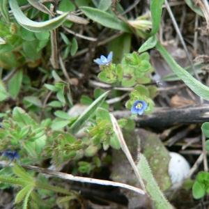 Photographie n°24978 du taxon Veronica arvensis L.
