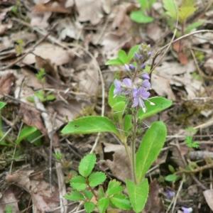 Photographie n°24991 du taxon Veronica officinalis L.