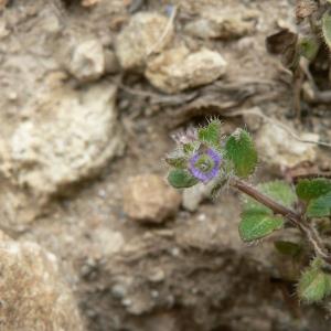 Photographie n°25000 du taxon Veronica hederifolia subsp. triloba (Opiz) Celak. [1871]