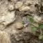Mathieu MENAND - Veronica hederifolia subsp. triloba (Opiz) Celak. [1871]