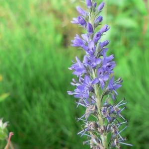 Photographie n°25010 du taxon Veronica longifolia L.