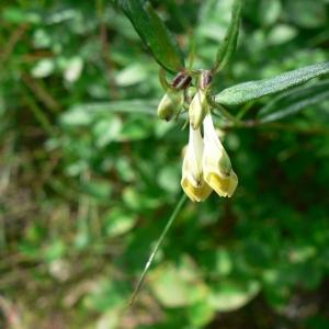 Photographie n°25012 du taxon Melampyrum pratense L.