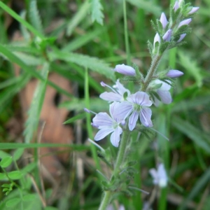 Photographie n°25014 du taxon Veronica officinalis L.