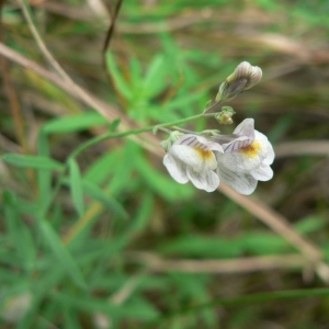 Photographie n°25022 du taxon Linaria repens (L.) Mill.