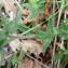 Mathieu MENAND - Veronica austriaca subsp. teucrium (L.) D.A.Webb [1972]