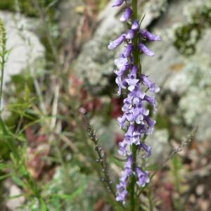 Photographie n°25055 du taxon Anarrhinum bellidifolium (L.) Willd.