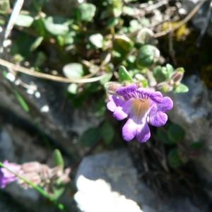 Photographie n°25058 du taxon Chaenorhinum origanifolium (L.) Kostel. [1844]