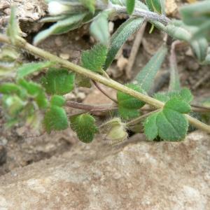 Photographie n°25071 du taxon Veronica hederifolia subsp. triloba (Opiz) Celak. [1871]