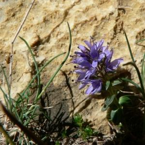 Photographie n°25089 du taxon Veronica nummularia Gouan