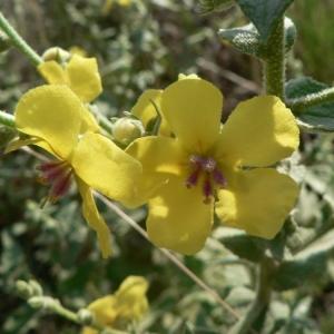 Photographie n°25101 du taxon Verbascum sinuatum L.