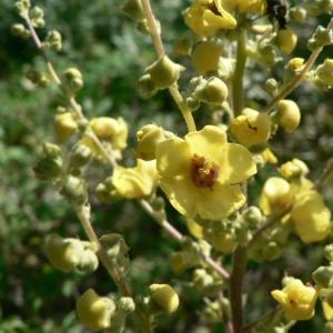 Photographie n°25112 du taxon Verbascum chaixii Vill.