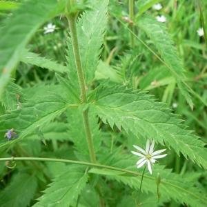 Photographie n°25118 du taxon Veronica longifolia L.