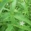 Mathieu MENAND - Veronica longifolia L.
